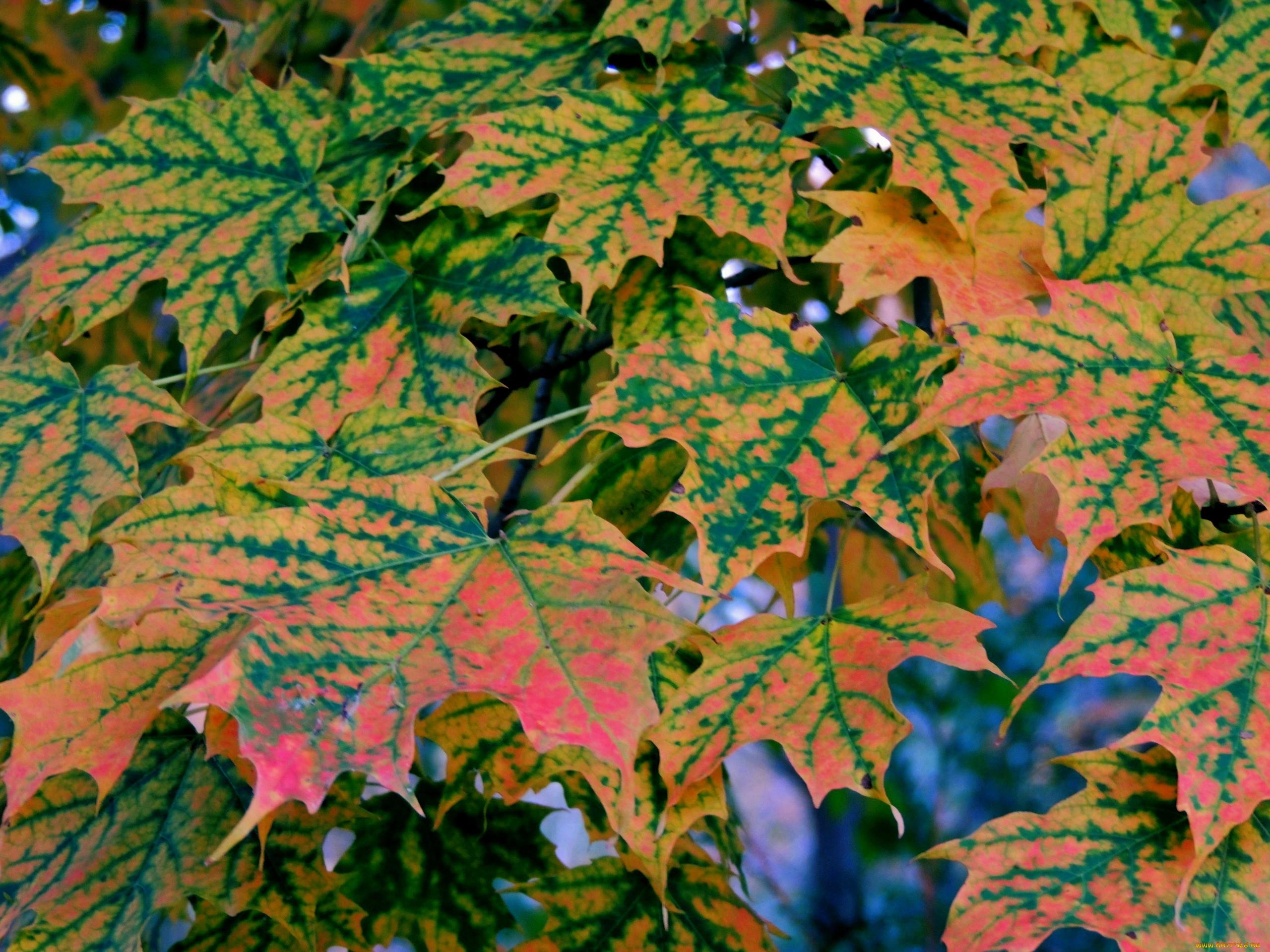 природа, листья, кленовые, осень